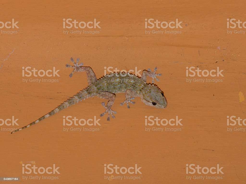 Mediterranean house gecko  on the ceiling at night stock photo