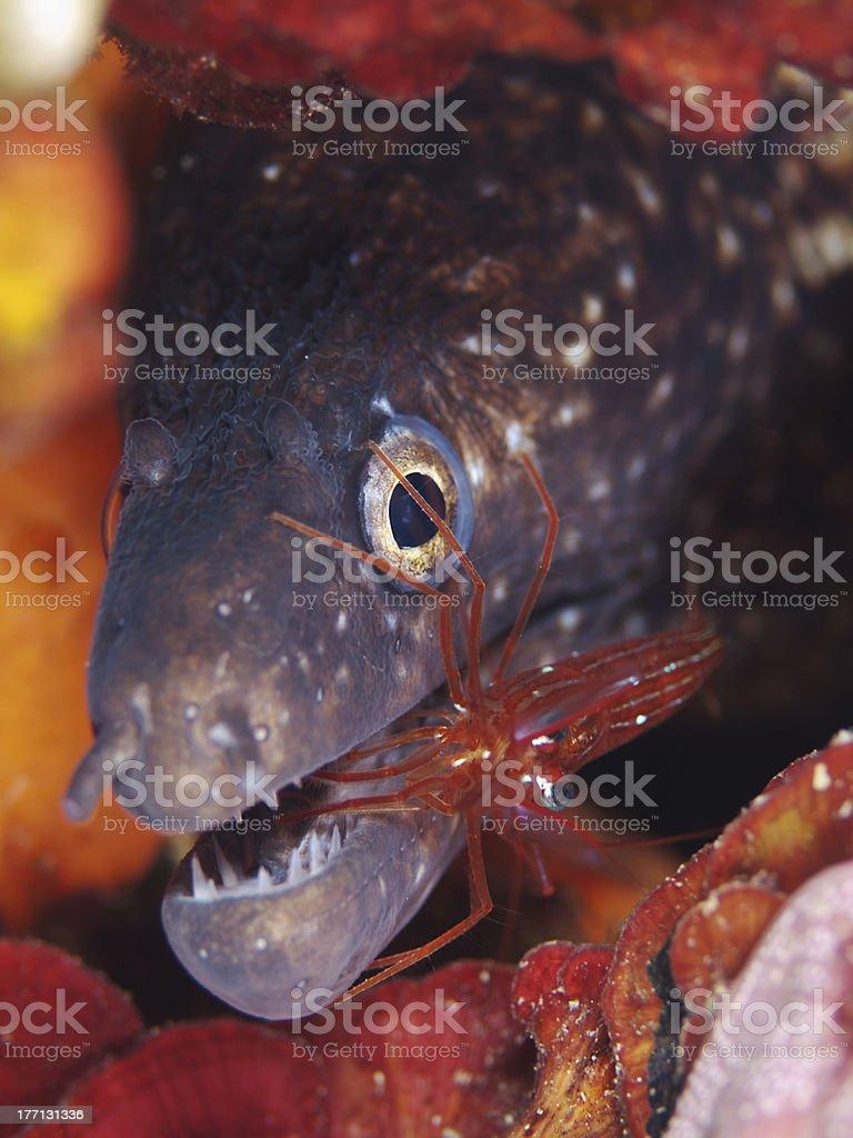 Mediterranean moray (Muraena helena) with cleaner shrimp (Lysmata seticaudata) stock photo