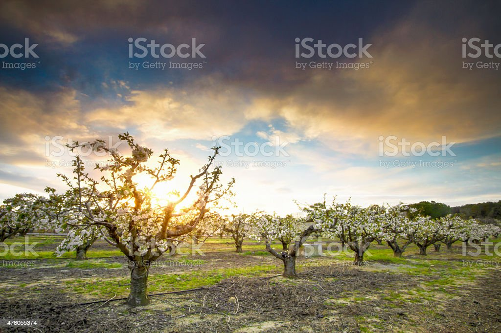 Mediterranean orchard at sunset stock photo