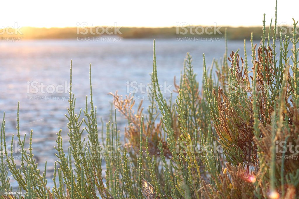 Mediterranean plants during sunset in the Camargue, France stock photo