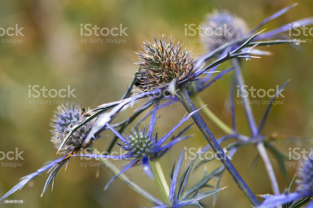 Mediterranean sea holly (Eryngium bourgatii) flowerheads stock photo