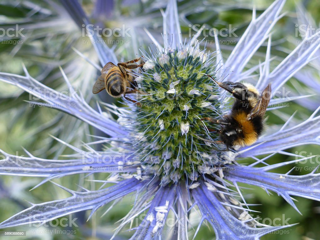 Mediterranean sea holly (Eryngium bourgatii) with a honeybee and bumblebee stock photo