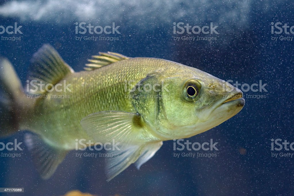 Mediterranean Seabass royalty-free stock photo