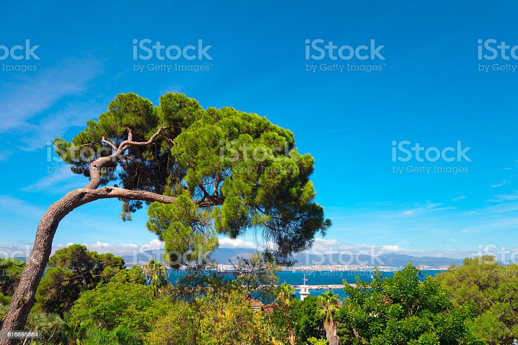 Mediterranean stone pine. stock photo