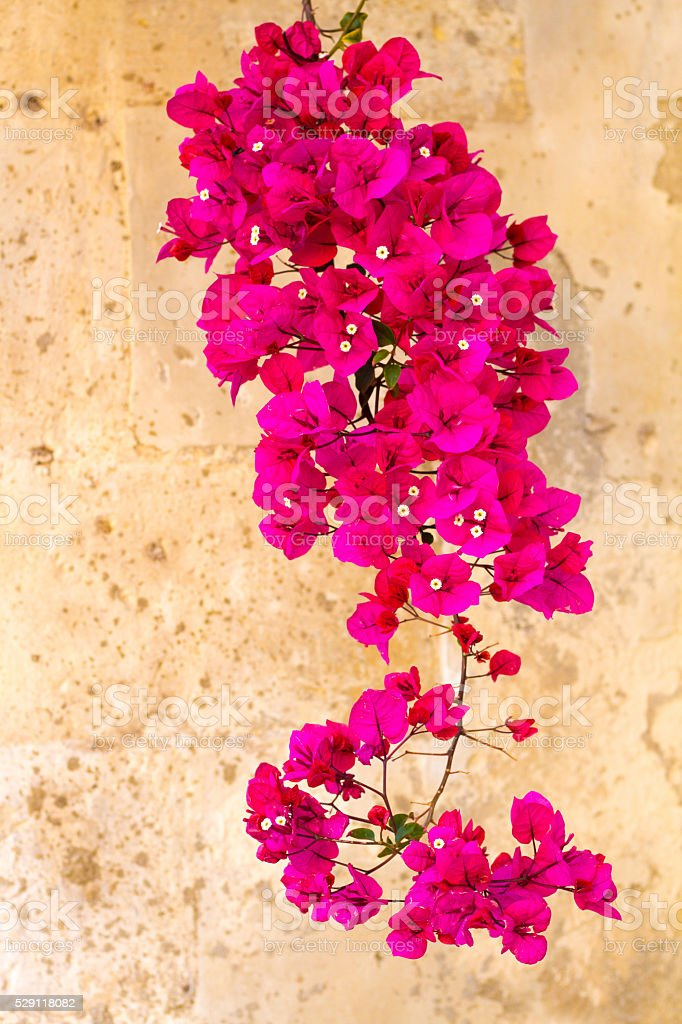 Mediterranean Style: Bright Pink Bougainvillea, Old Yellow Wall Background stock photo