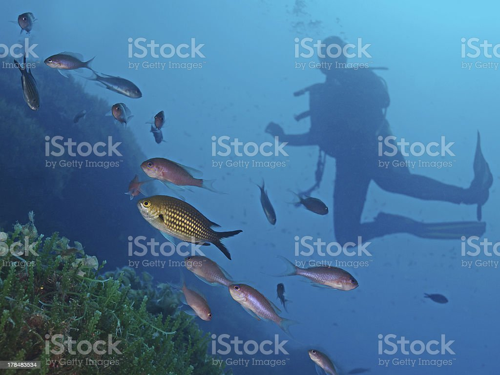 Mediterranean underwater fauna with diver royalty-free stock photo