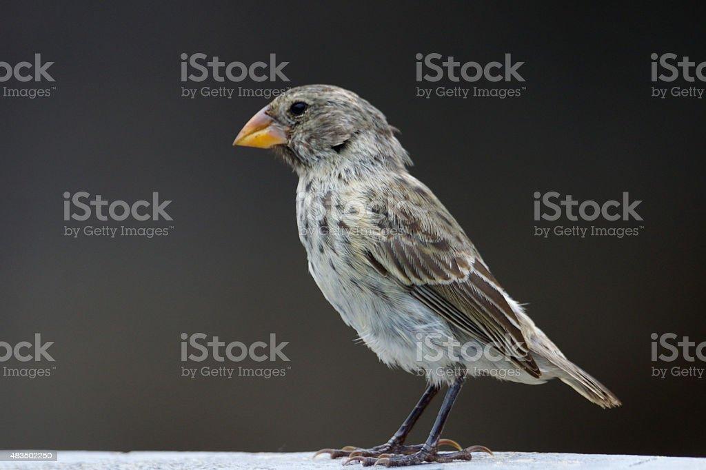 Medium ground-finch stock photo