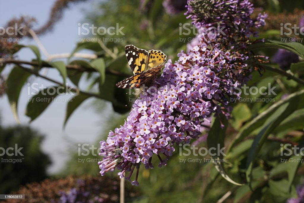 Painted lady butterfly Vanessa cardui on flower of Buddleia davi stock photo