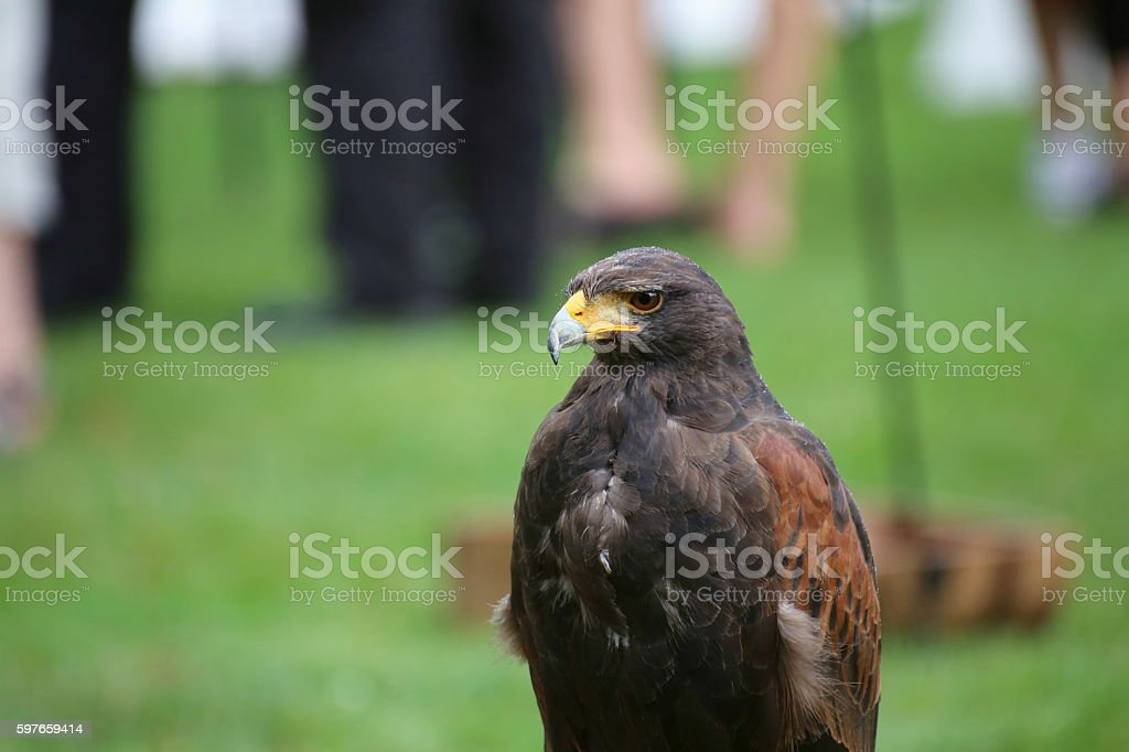 Medium shot of Harris hawk (Parabuteo unicinctus) stock photo