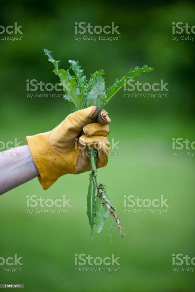 medium thistle in gloved hand stock photo