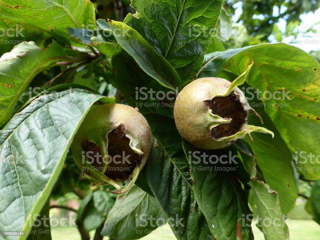 Medlar Fruit, Common Medlar (Mespilus germanica) stock photo