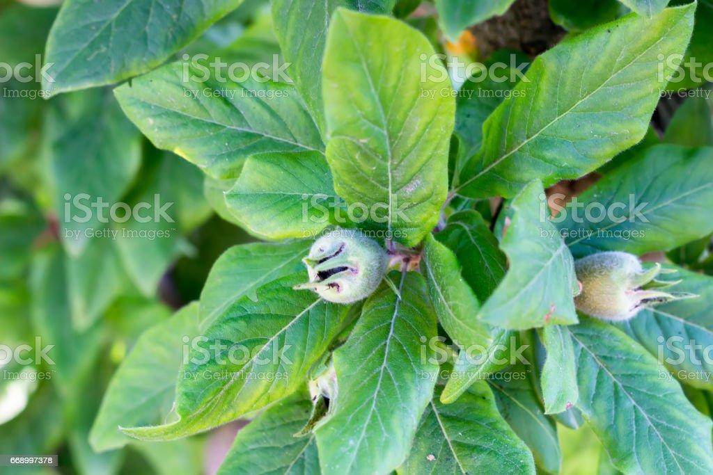 Medlar growing on the tree stock photo