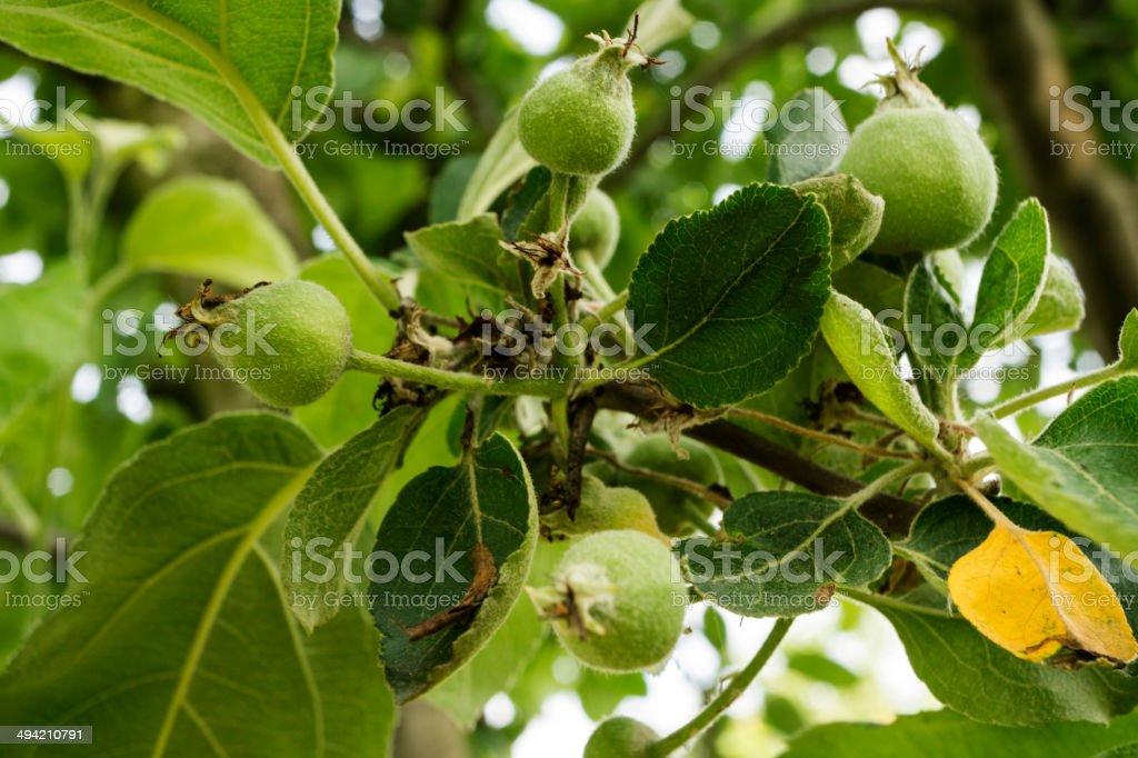 Medlar on tree royalty-free stock photo
