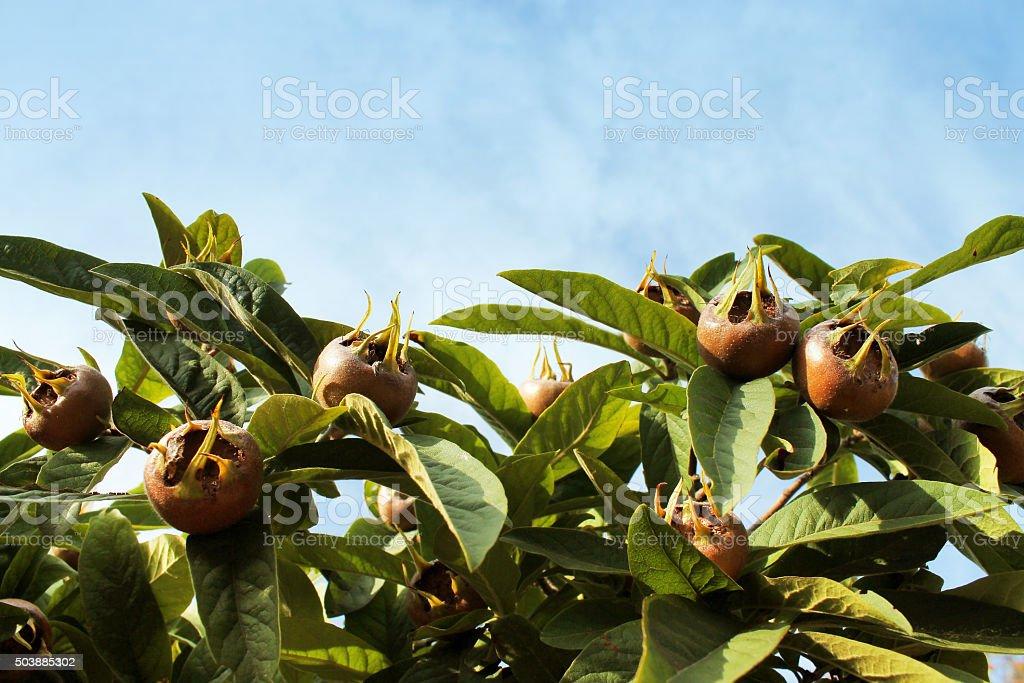 Medlars in fruit tree closeup stock photo