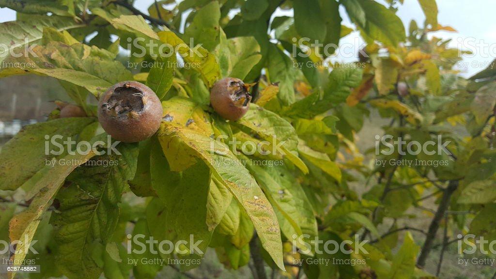 Medlars in fruit tree stock photo