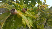 Medlars in fruit tree