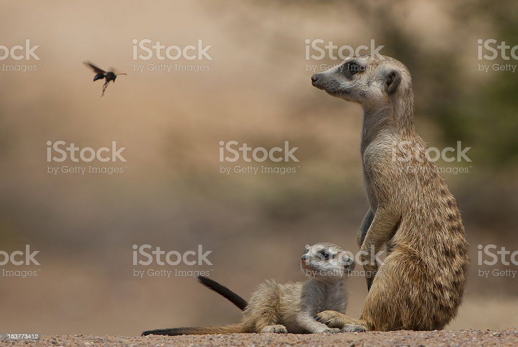 Meercat and pup stare at flying wasp stock photo