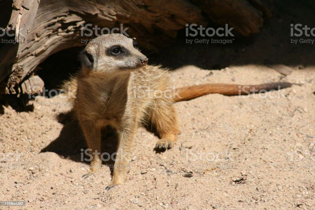 Meercat at Rest stock photo