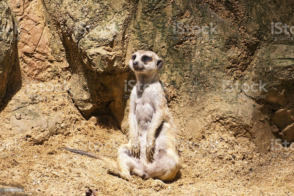 Meercat zbiór zdjęć royalty-free