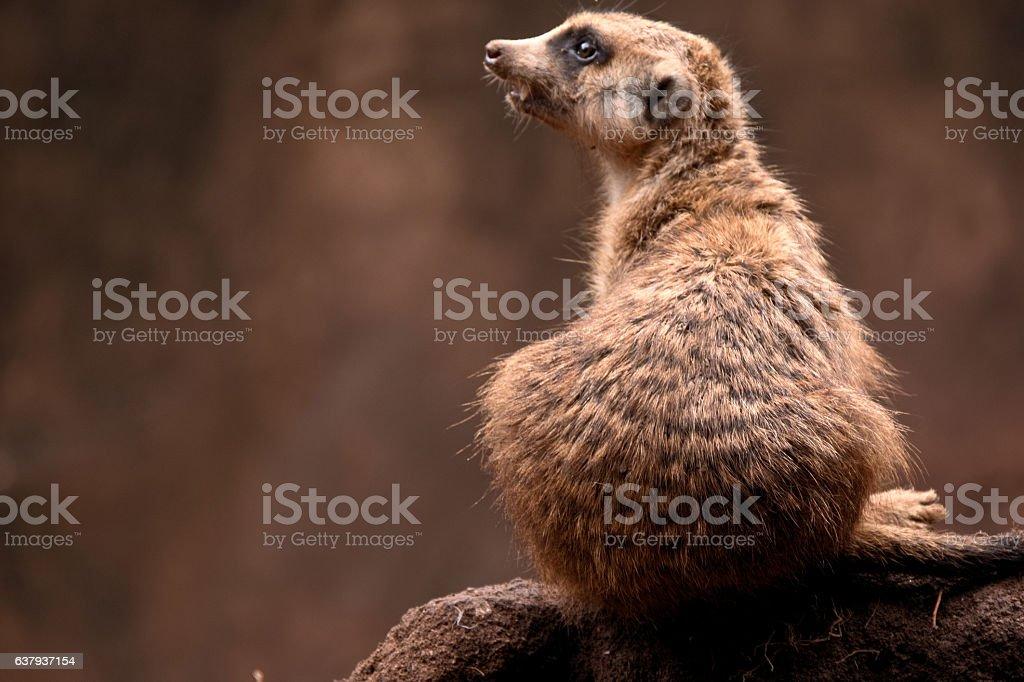 Meerkat atop an anthill stock photo