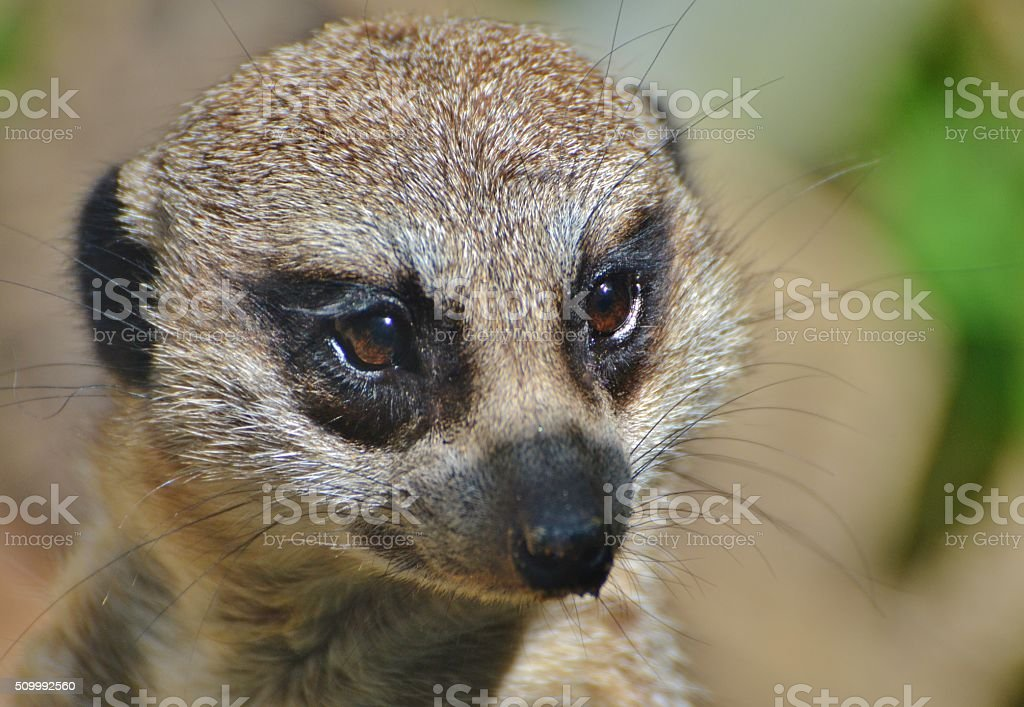 Meerkat Face stock photo
