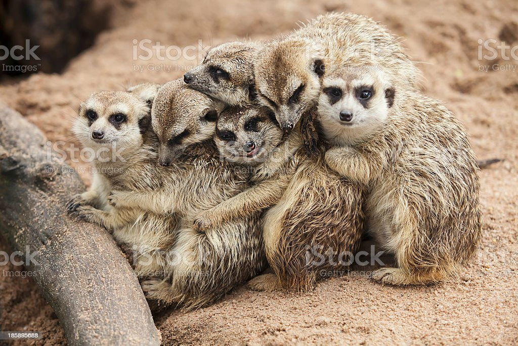 Meerkat family huddled together near tree root stock photo
