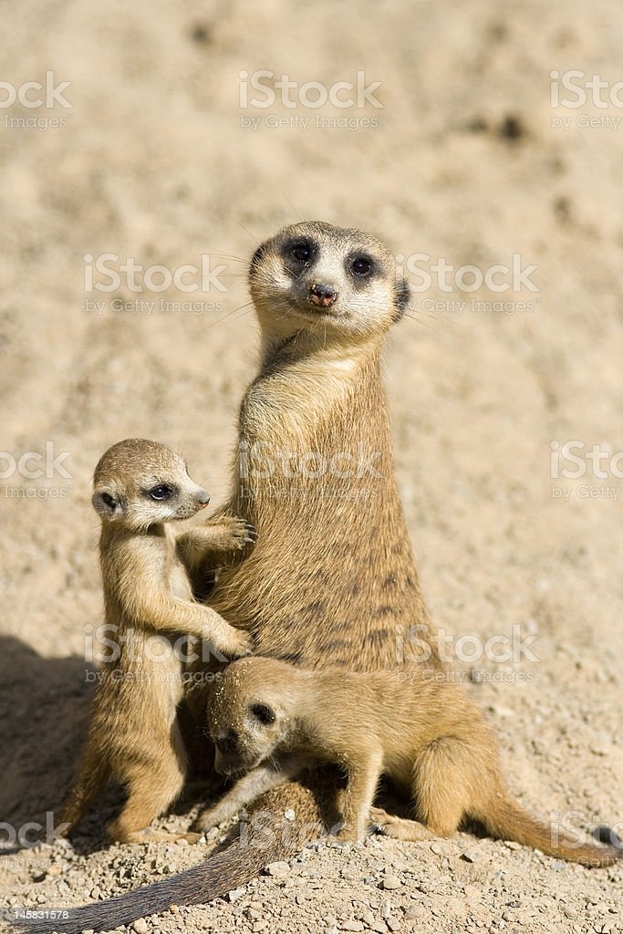 Meerkat Family royalty-free stock photo
