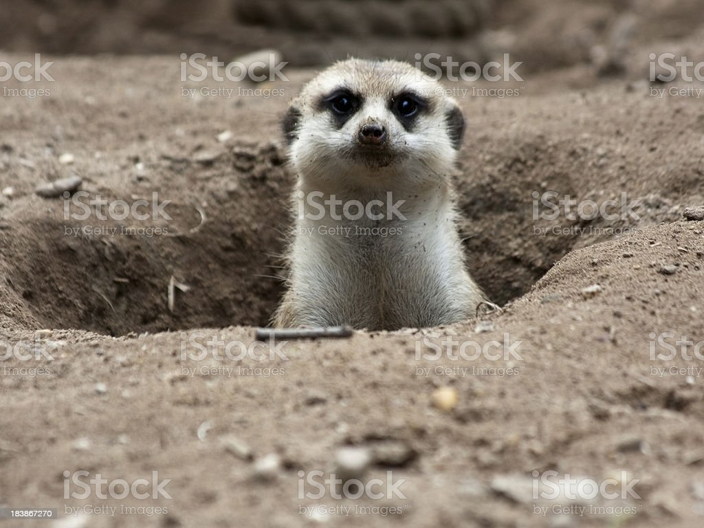 Meerkat in its burrow, looking at the camera stock photo