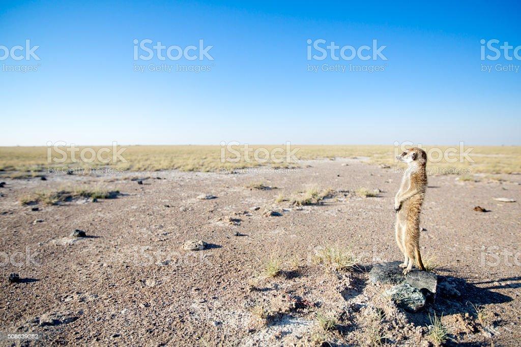 Meerkat in the open veld stock photo