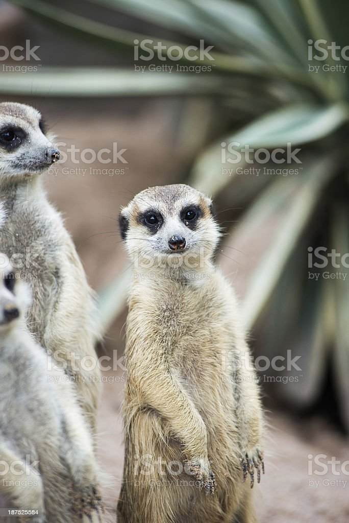 Meerkat is standing on guard royalty-free stock photo