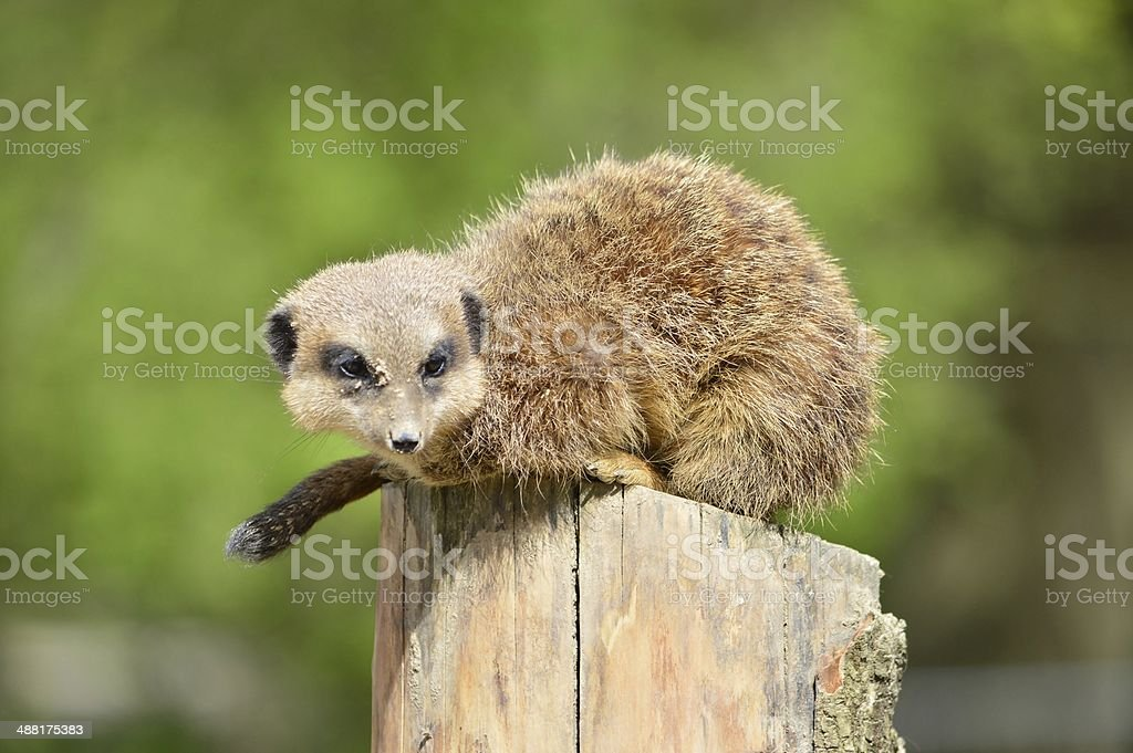 Meerkat looking around for food stock photo