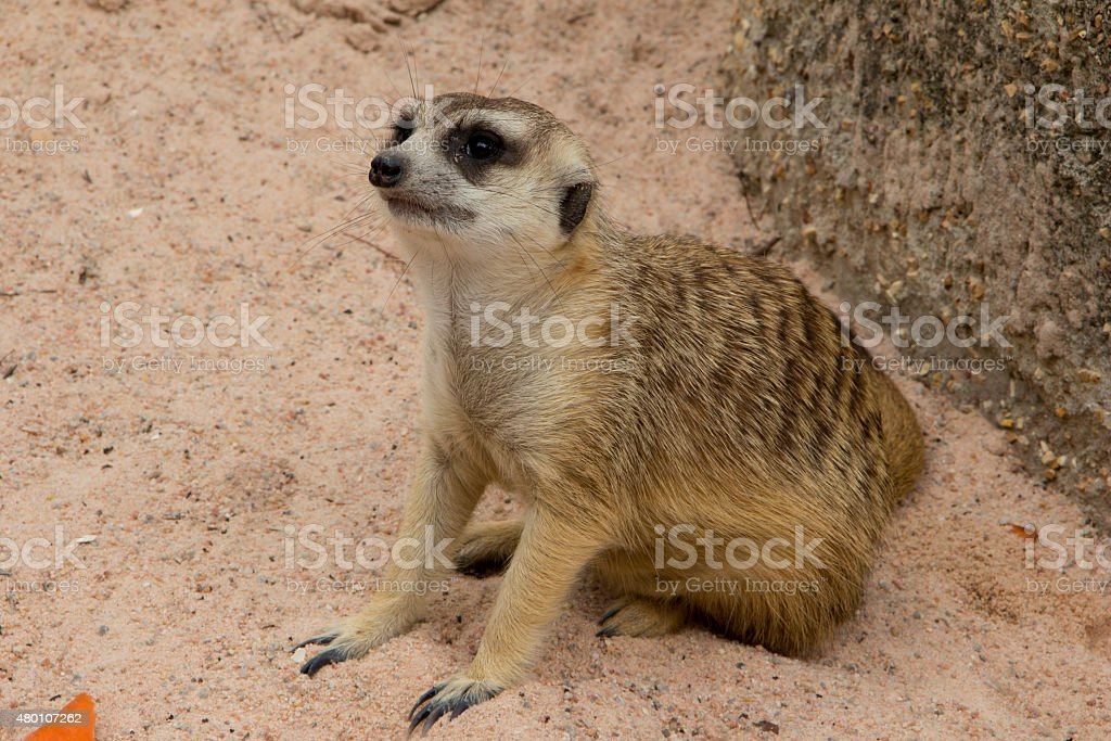 Meerkat looking around for safeguarding stock photo