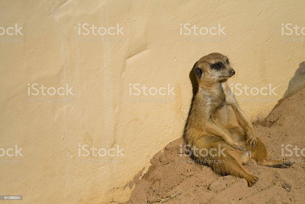 Meerkat looking bored stock photo
