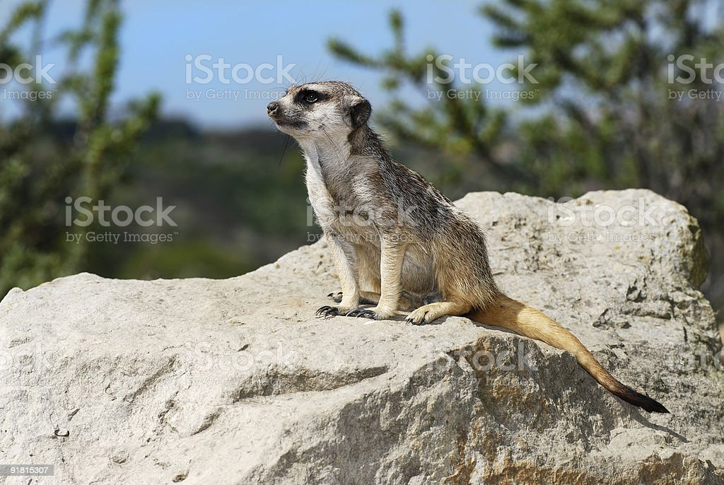 meerkat lookout siting patiently on a big stone royalty-free stock photo