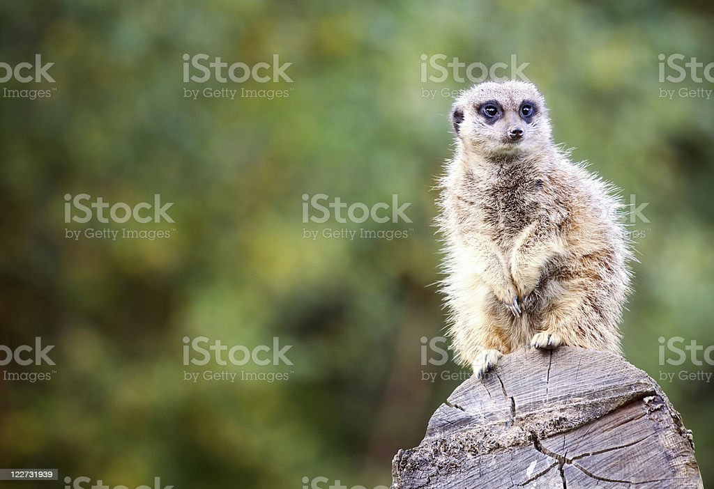 Meerkat on the lookout royalty-free stock photo