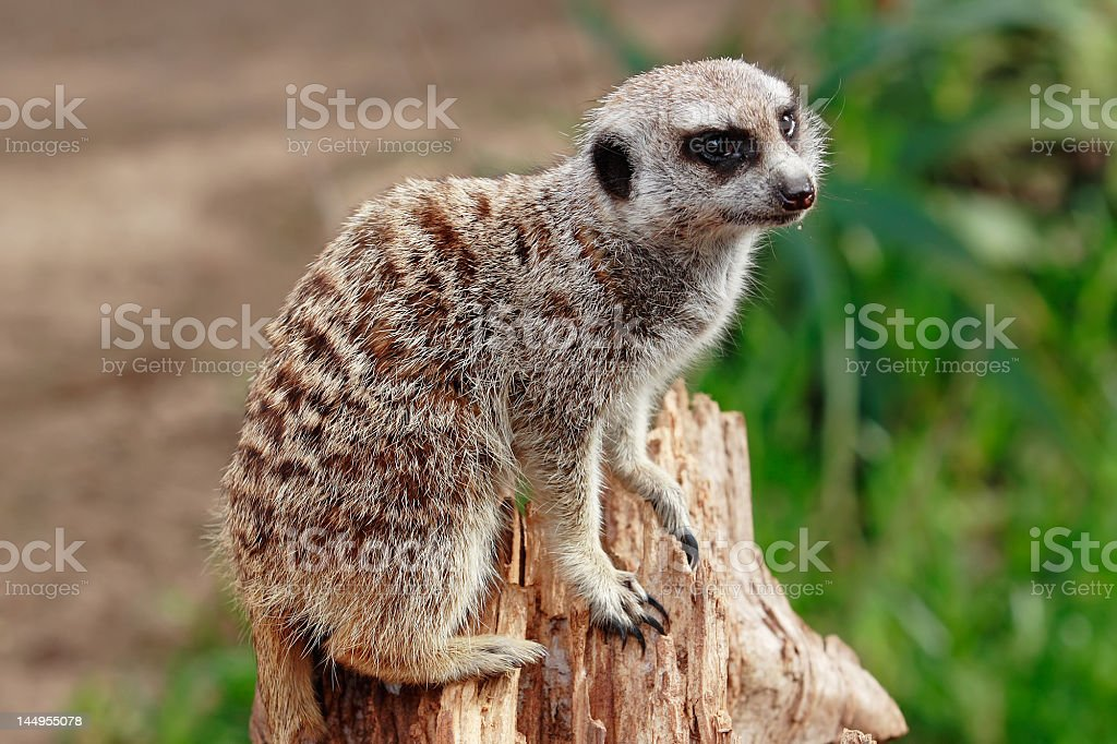 Meerkat royalty-free stock photo
