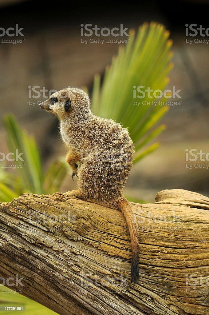 미어캣 royalty-free 스톡 사진