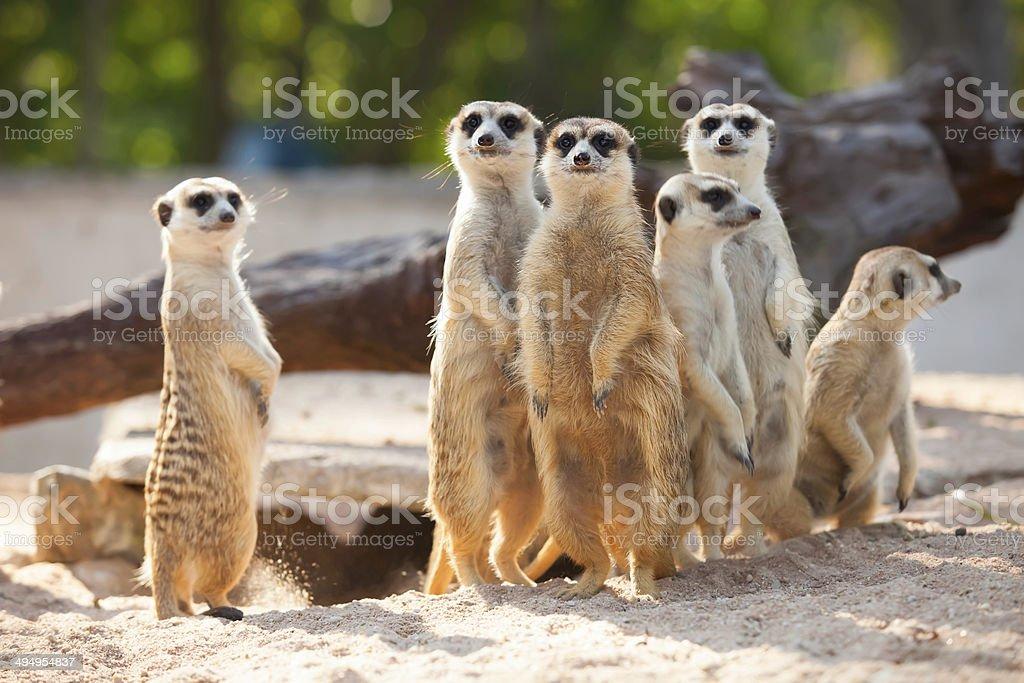 Meerkat. stock photo