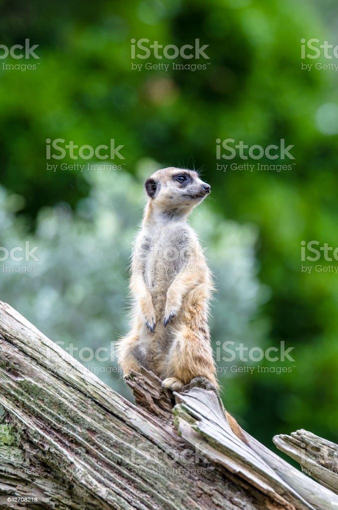 Meerkat (Suricata suricatta) stock photo