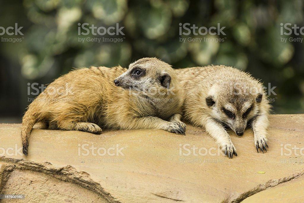 Meerkat resting on ground royalty-free stock photo
