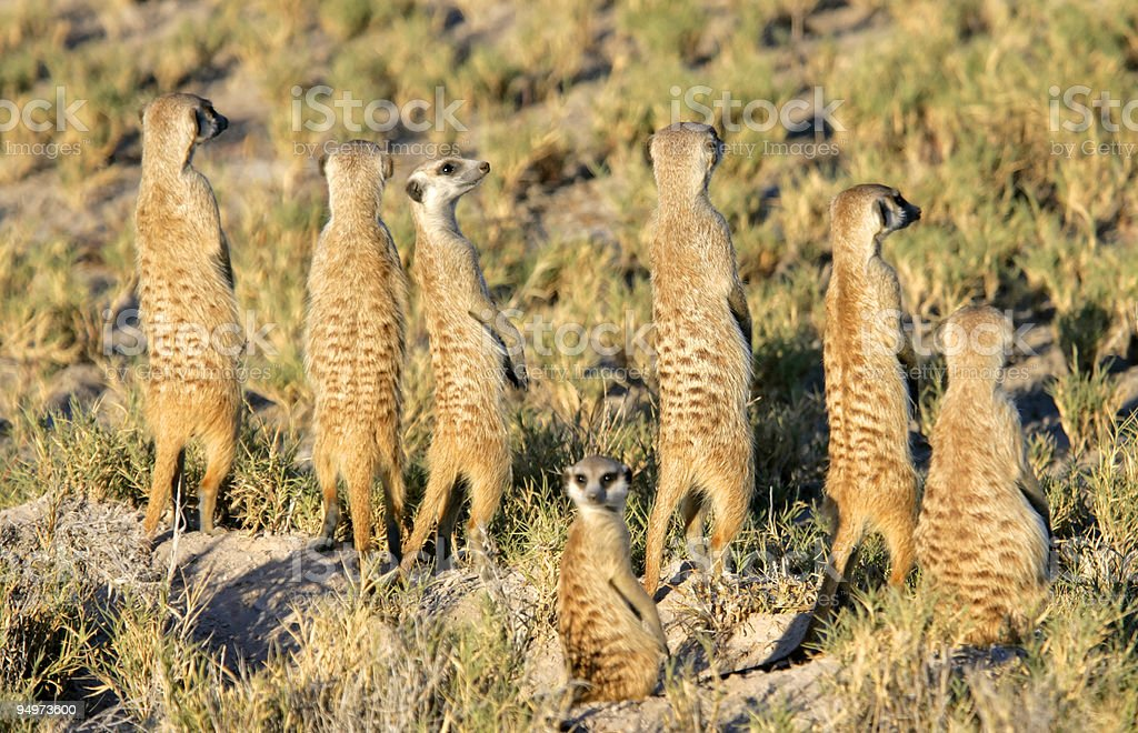 Meerkat Sentries stock photo