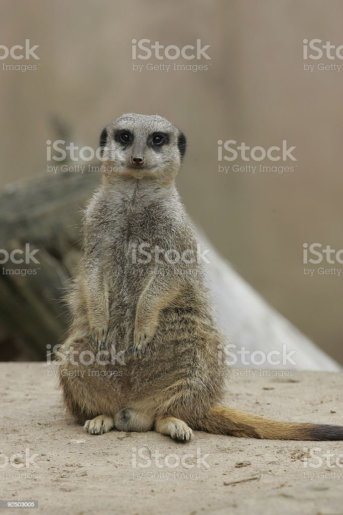 Meerkat sitting upright and posing royalty-free stock photo