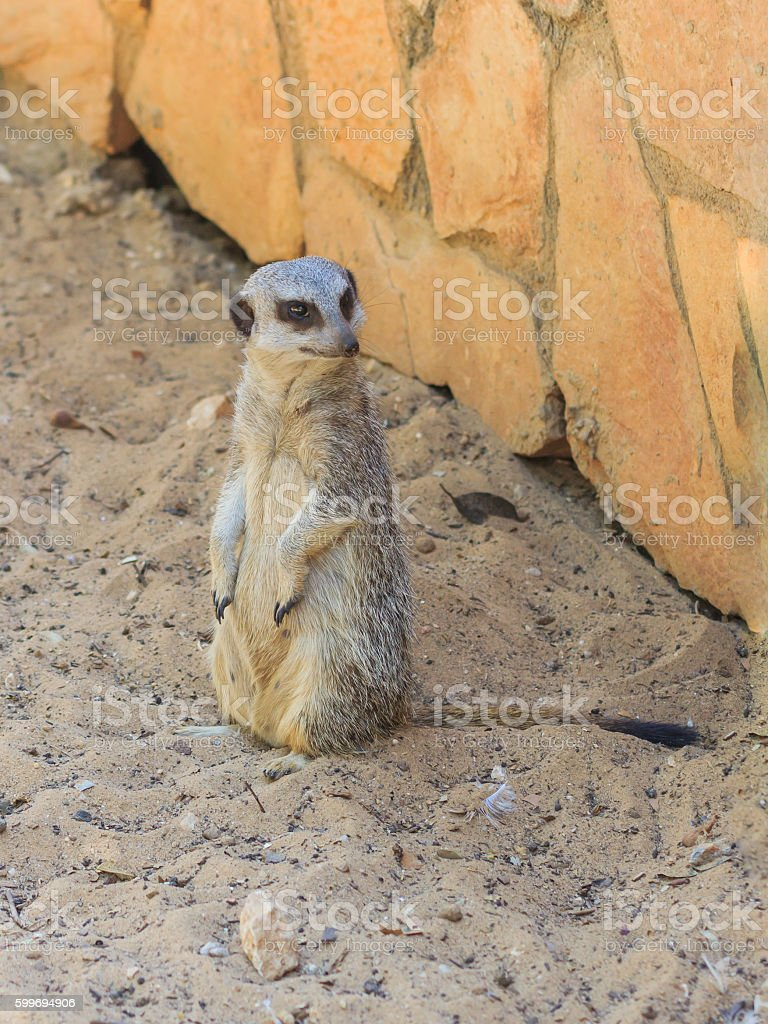 meerkat standing afternoon on sand under the sun stock photo