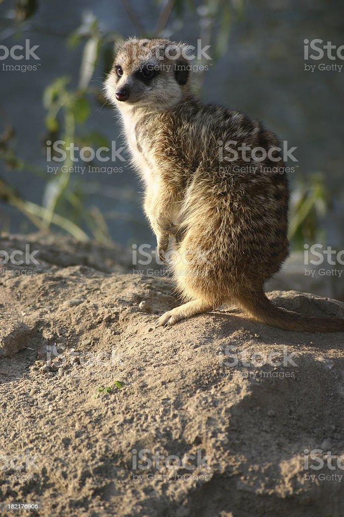 Meerkat standing II royalty-free stock photo