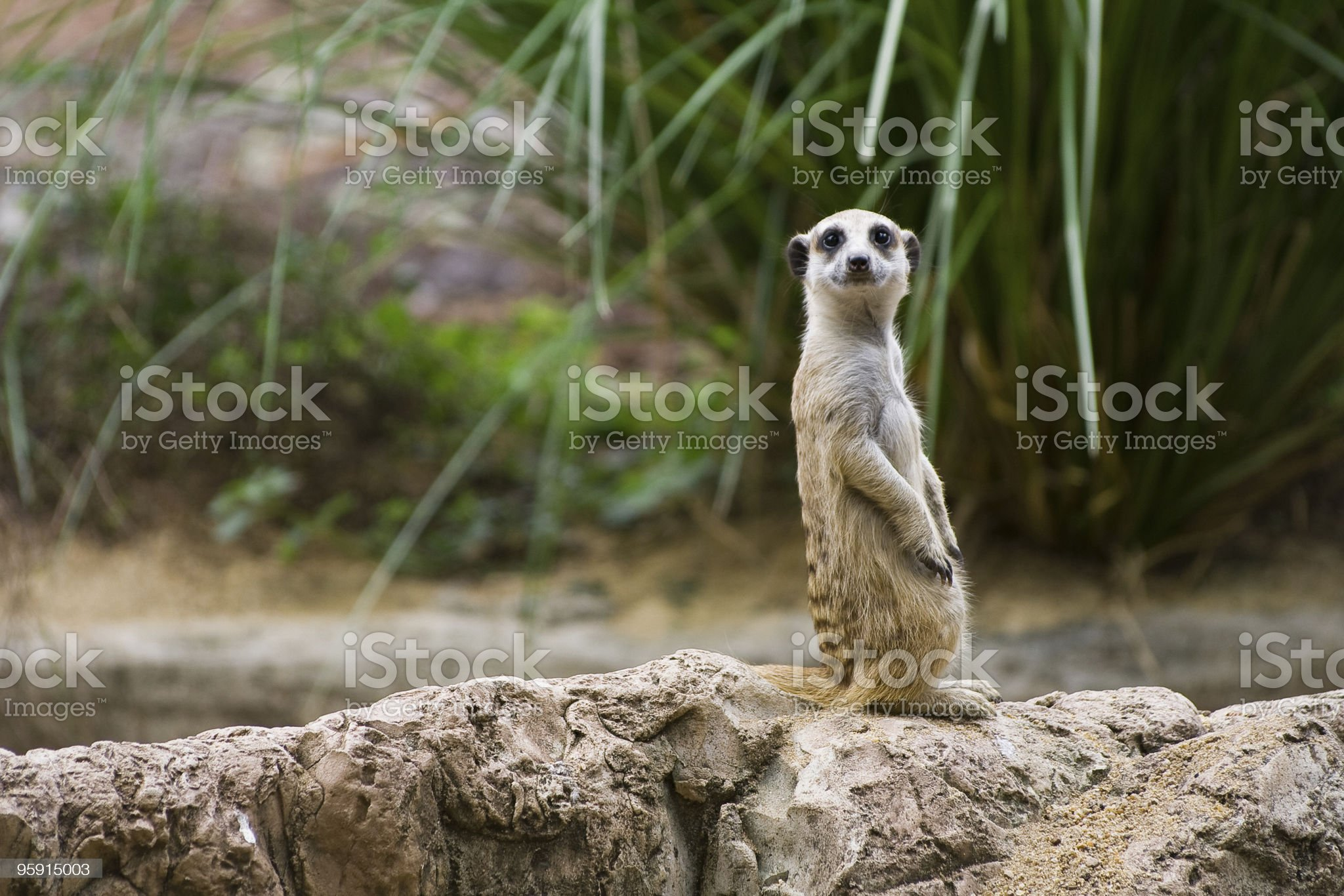 Meerkat standing on a rock, smiling royalty-free stock photo