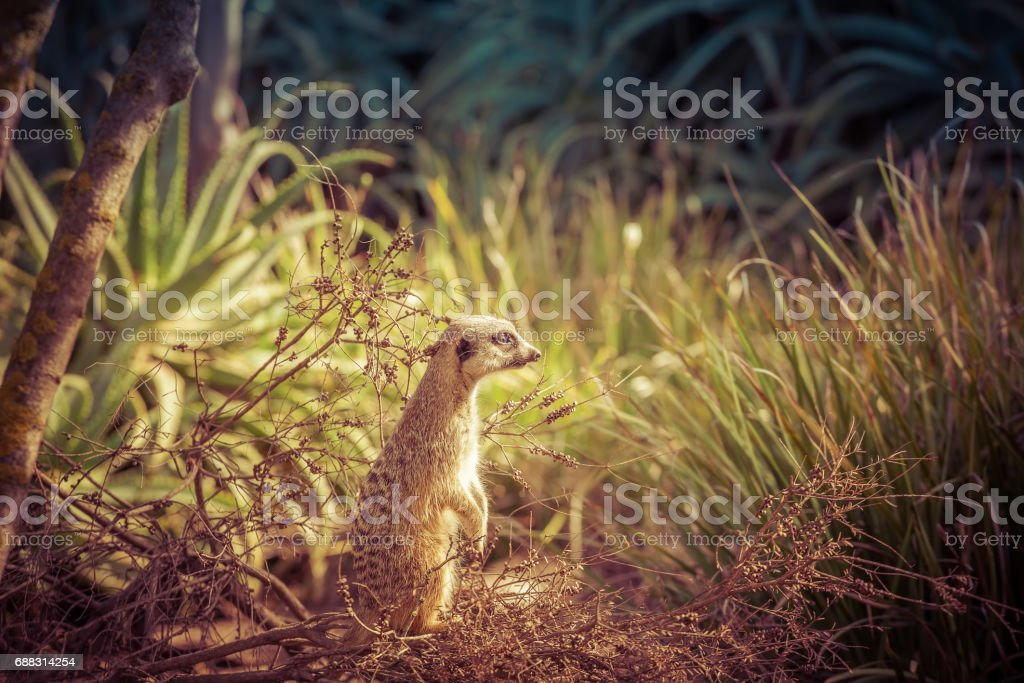 Meerkat standing tall and looking intensely into the distance among green grass stock photo