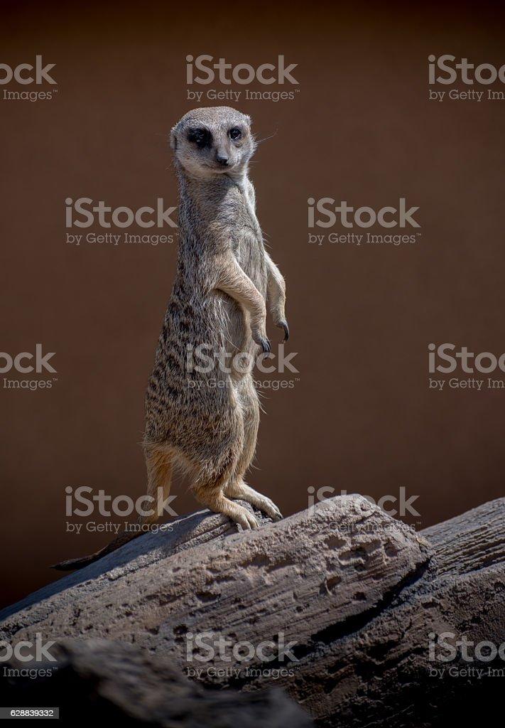 Meerkat standing watch on sentry duty stock photo