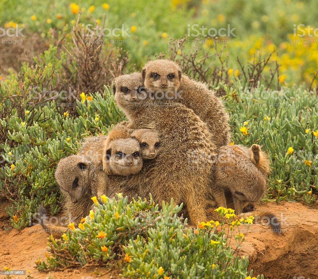 Meerkat Totem stock photo