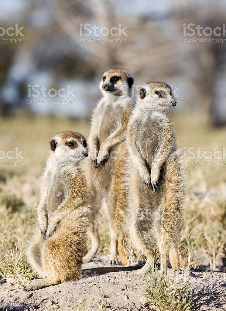 Meerkat Trio royalty-free stock photo
