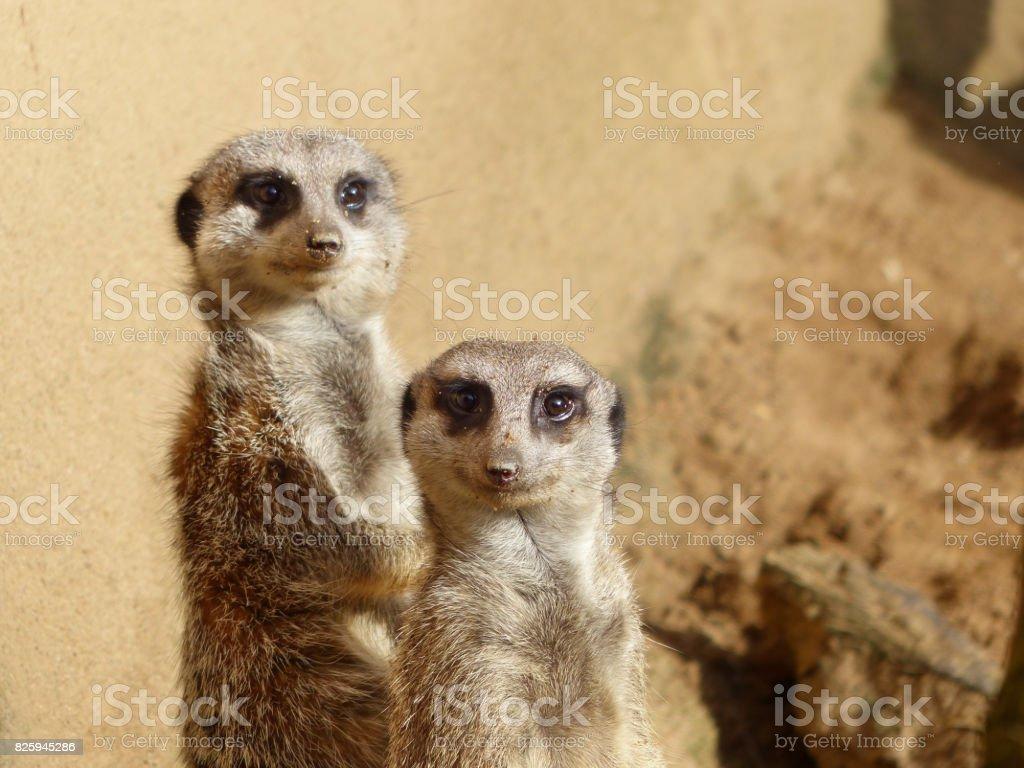 Meerkats couple looking in the camera stock photo